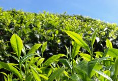 Tea plantantions Cameron Highlands. Beautiful Boh Tea plantations in Cameron Highlands, Malaysia royalty free stock photos