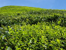 Tea plantantions Cameron Highlands. Beautiful Boh Tea plantations in Cameron Highlands, Malaysia stock photo