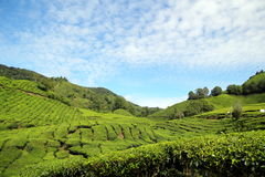 Tea Plantation 02 Royalty Free Stock Photo