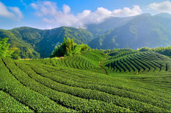 Tea plantation Royalty Free Stock Photo