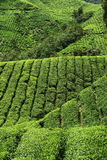 Tea Plantation. Rows of tea plantation in highlands royalty free stock photo