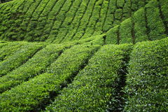 Tea Plantation. Rows of tea plantation in highlands stock photography