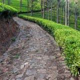 Tea Plantation. Tea garden alley in Tamil Nadu, India Royalty Free Stock Image