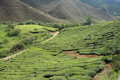 Tea Plantation Stock Images
