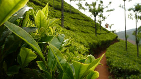 Tea plantation. In Ooty hill station in India Royalty Free Stock Photography