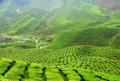Free Tea Plantation Royalty Free Stock Photo - 11673925