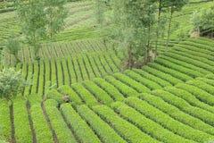Tea plantation Stock Image