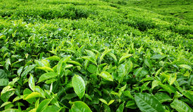 Tea plantation Royalty Free Stock Photography