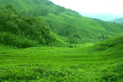 Tea plantation. In Cameron Highlands on a clear day Stock Image
