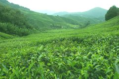 Tea plantation. In Cameron Highlands on a clear day Royalty Free Stock Image