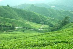 Tea Plantation. In Cameron Highlands on a clear day Royalty Free Stock Photos