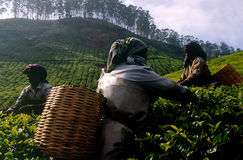 Free Tea Plantation Royalty Free Stock Photography - 1283347