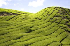 Tea Plantation. Rows of the finest tea plants Royalty Free Stock Image