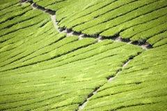 Tea Plantation. Rows of the finest tea plants Stock Photos