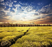Tea plantation. In the Kenya Royalty Free Stock Images