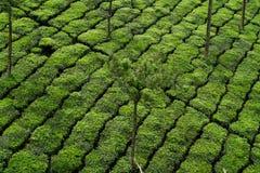 Tea plantation Stock Photos