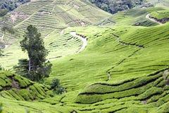 Tea Plantation. Rows of the finest tea plants Royalty Free Stock Photo
