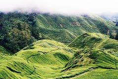 Tea plantation. Fog starting to roll on the tea plantation at Cameron Highlands, Malaysia Royalty Free Stock Photos