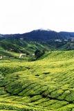 Tea plantation. Vast tea plantation at Cameron Highlands, Malaysia Stock Photography