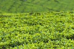 Tea plantation. In Haputale, Sri Lanka Royalty Free Stock Image
