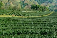 Tea Plantation. North of Thailand Royalty Free Stock Images