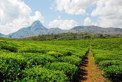 Tea plantation. Field of tea plantation at Mozambique Royalty Free Stock Photography