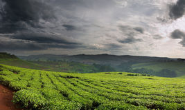Tea plantation. Sunrise. Eastern Africa, Uganda Royalty Free Stock Photo