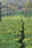 Tea plantation. Young tea plantation in Munnar India Stock Images