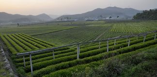 Tea plantation. A Beautiful View Of Tea plantation in Shaoxing,china royalty free stock images