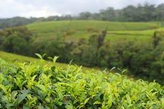 Tea plantation Royalty Free Stock Image