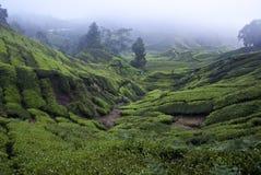 Tea Plantation. The tea plantation on slope of the Mount Brinchang at Cameron Highland, Malaysia Royalty Free Stock Photos
