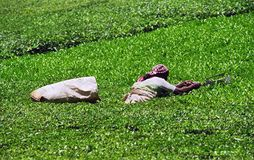 Tea plantation. Indian woman picking tea leaves on the tea plantation Stock Images