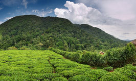 Tea plantation. In Bwindi national park, Uganda Stock Photography