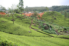 Tea plantation 2 Stock Image