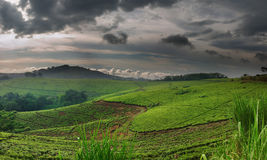 Tea plantation. In Uganda, rainy season Stock Images
