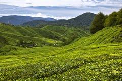 Tea plantation. In Cameron Highlands, Malaysia Stock Photos