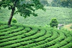 Tea in plantation. North of thailand Royalty Free Stock Photo