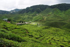 Tea plantation. Stock Images