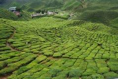 Tea plantation. A field of tea plantation in Cameron Highland, Malaysia Royalty Free Stock Photography