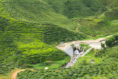 Tea plantation. Tea being grown at a plantation in the Cameron Highlands, Malaysia Royalty Free Stock Photography