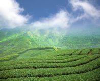 Tea plantation. On the high mountain valley Stock Images