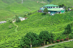Tea plantation. Green tea garden on the hill Royalty Free Stock Images