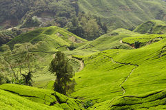 Tea plantation. In the Cameron Highlands,Malaysia,Asia Royalty Free Stock Images