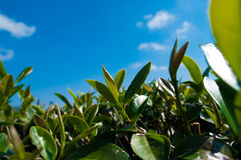 Tea plantation Royalty Free Stock Photos