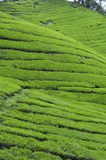Tea plantation. In the Cameron Highlands,Malaysia,Asia Royalty Free Stock Photo