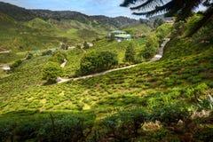 Tea plantation. Refreshing landscape scenery with sunlight Stock Image