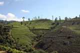 A tea plantation Royalty Free Stock Photo