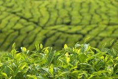 Tea plantation. In cameron highlands ,malaysia royalty free stock photography