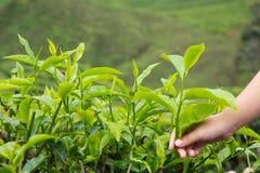 Tea plantation. Child hand pluck a tea leaf at tea farm Royalty Free Stock Photography