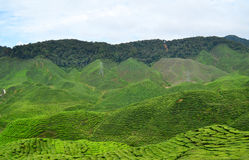 Tea plantation. Royalty Free Stock Photos